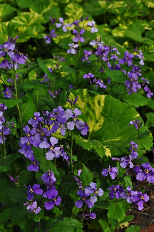 Petasites japonicus 'Variegatus' and Lunaria annua