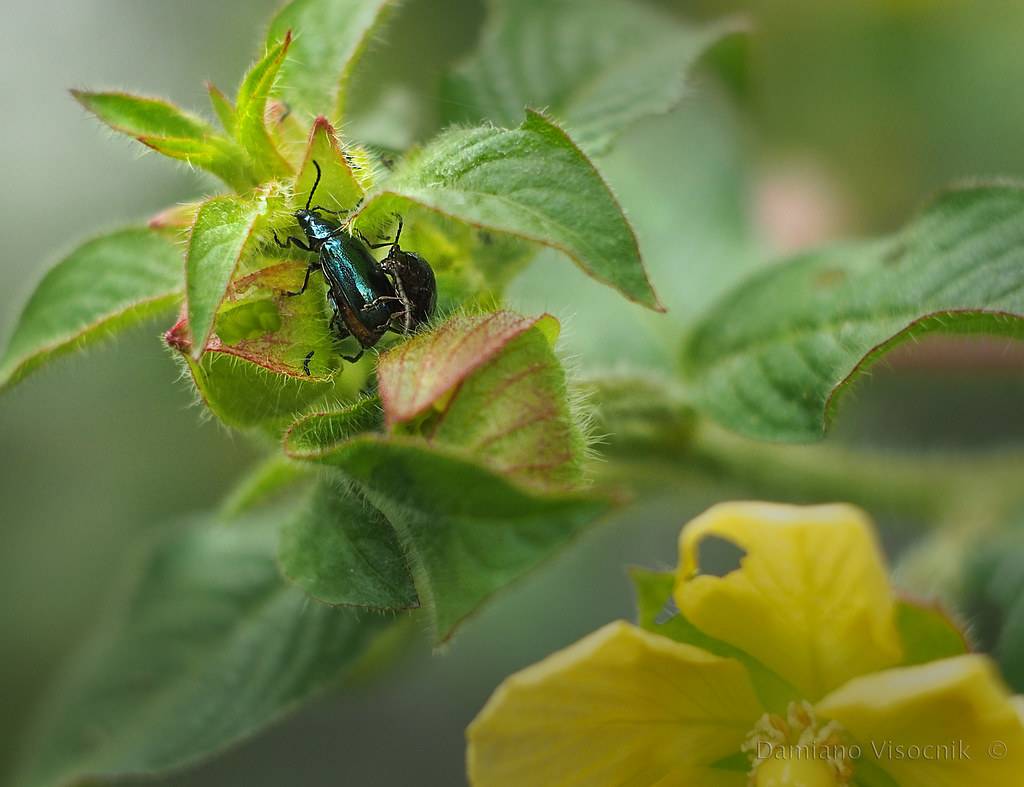 Flower bug_3_c