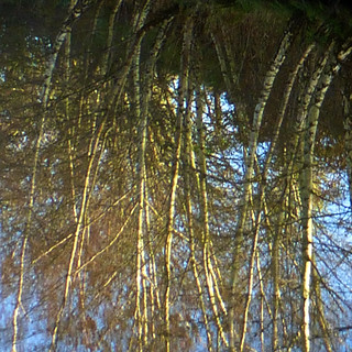 reflected birch trees