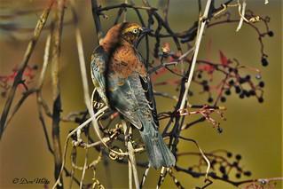 Rusty blackbird...