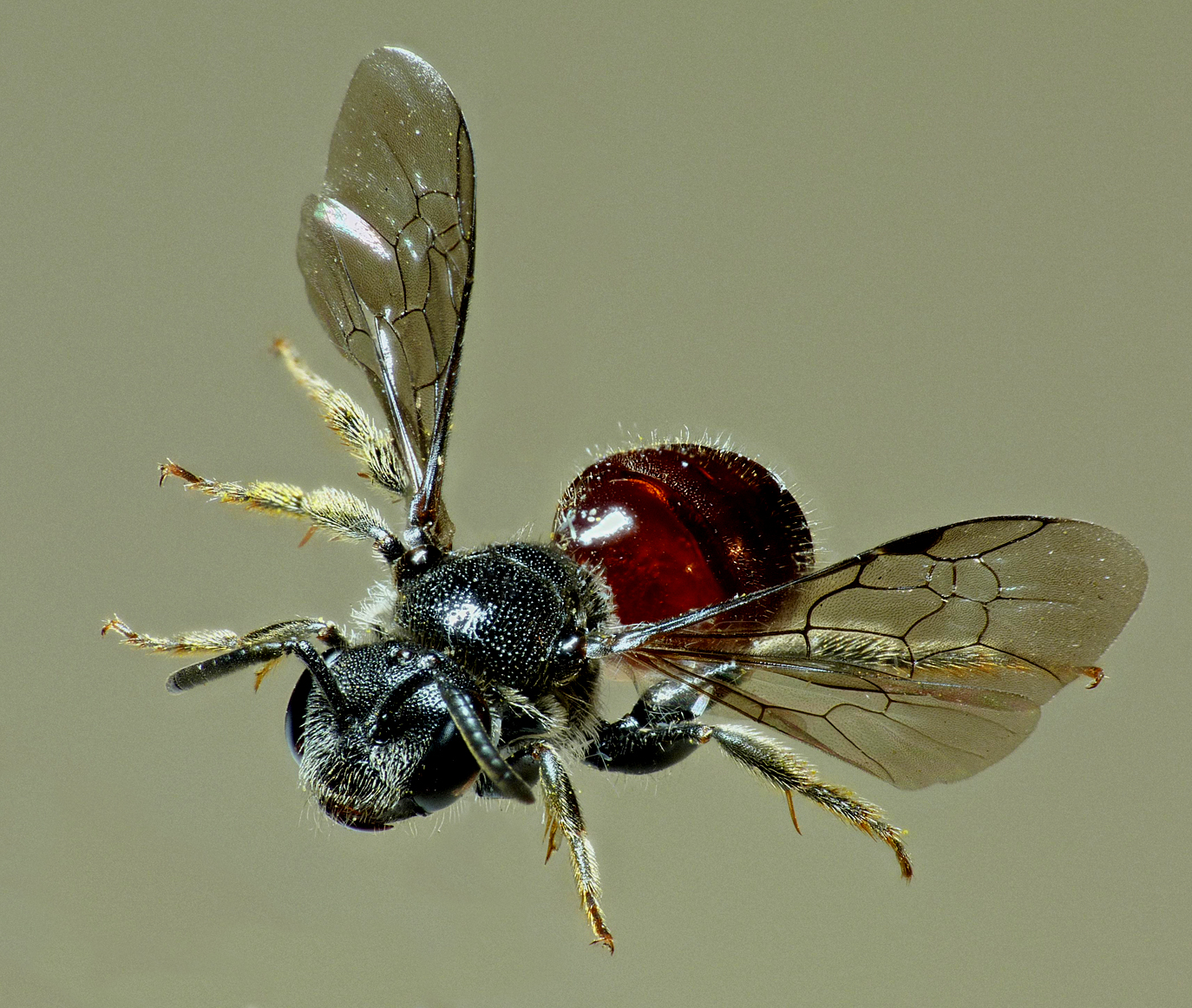 Reticulate Blood Bee SSHS 17Aug15 c