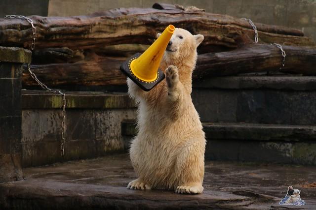 Eisbär Fiete im Zoo Rostock  044
