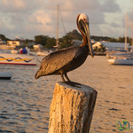 Brown Pelican at Sunset - Pelican Key, St. Maarten