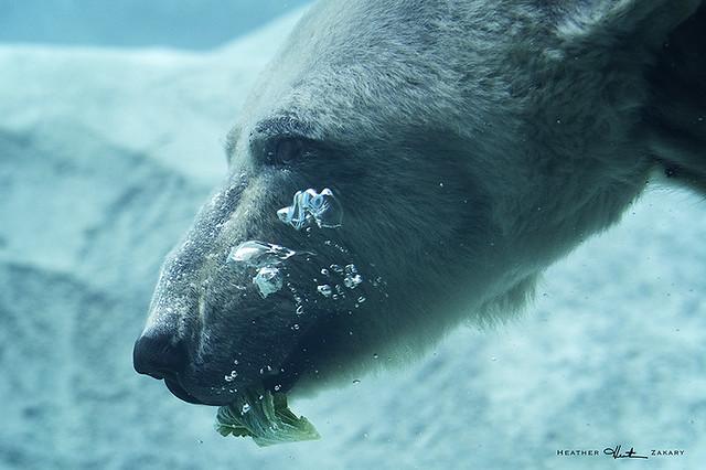 Polar Bear - Toronto Zoo