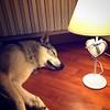 Buona notte cucciola :heart:️ #clc #canelupocecoslovacco #lupocecoslovacco #czechwolfdog #cezchwolf #nanna #cuoricino #buonanotte #goodnight:moon: #sognidoro #sweetdreams #puppy #lupa #bestfriend #ilmiglioreamicodelluomo