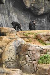Chimpanzees at the Los Angeles Zoo