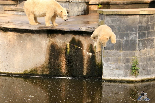 Eisbär Fiete imm Zoo Rostock 15.08.2015 Teil 2  378
