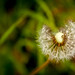 Dandelion by Askjell's Photo