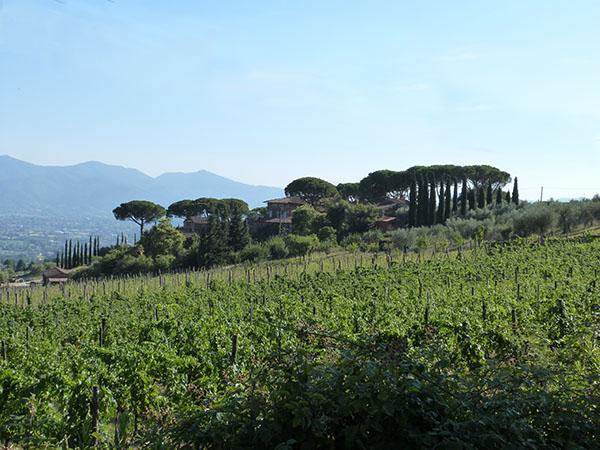 vignes, oliviers et pins parasols