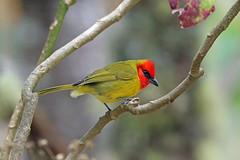 Cardinalidae
