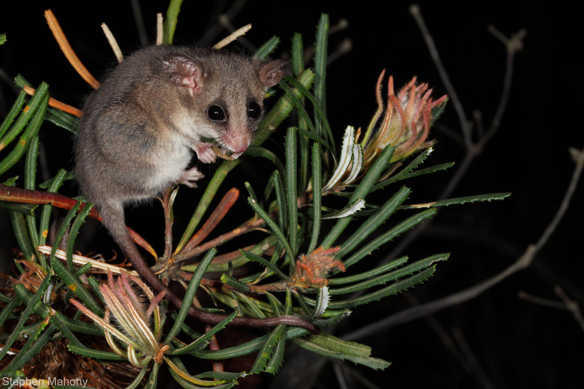 eastern pygmy possum - photo #19