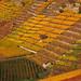 Terraced Vineyard in Autumn - Stuttgart, Germany by Batikart