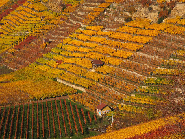 Terraced Vineyard in Autumn - Stuttgart, Germany