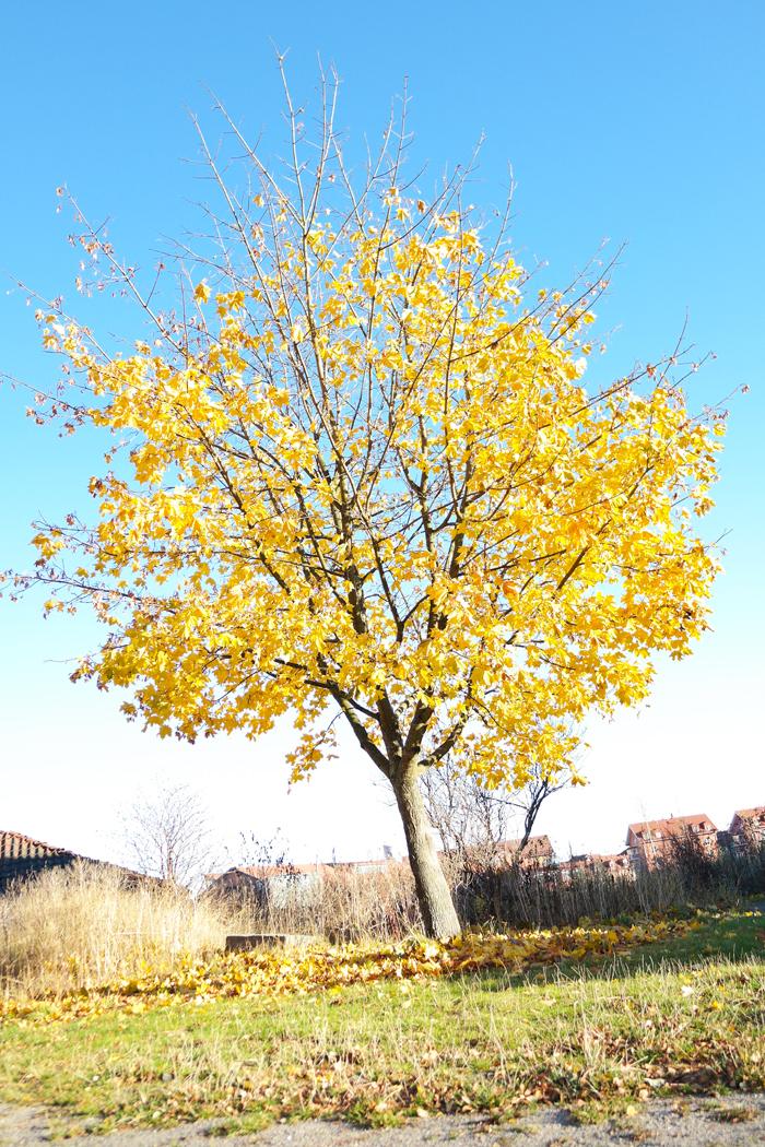 ruska-puu-vantaa-syksy2015