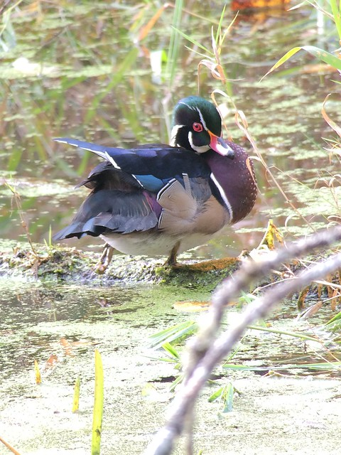 Wood Duck. Nisqually NWR. Slough along the east side of the Twin Barns Loop Trail.