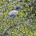 Yellow-crowned Night-Heron (Nyctanassa violacea)_DSC3984e por Dave Krueper