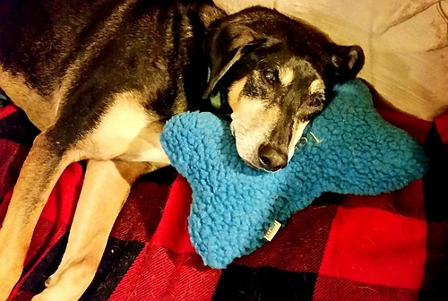 senior coonhound mix with his LL Bean personalized dog bone pillow - LapdogCreations
