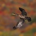 Cormoran à aigrettes / double-crested cormorant by Simon Théberge