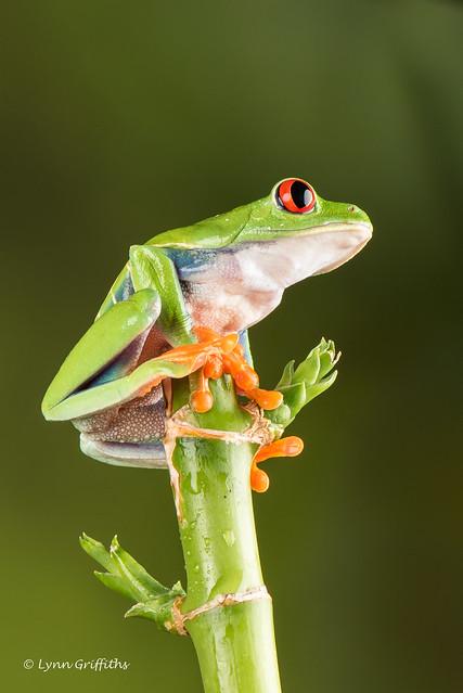 Red Eye Tree Frog - sitting pretty D75_2752.jpg