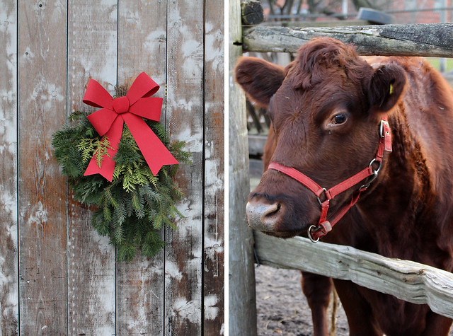 Riverdale Farm Cow Christams