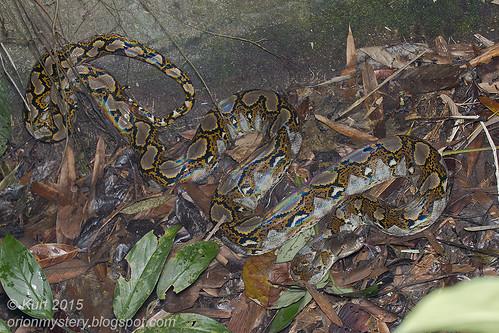 Python reticulatus_MG_0995 copy