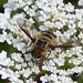 Small photo of Bee Fly. Villa cingulata Bombylidae