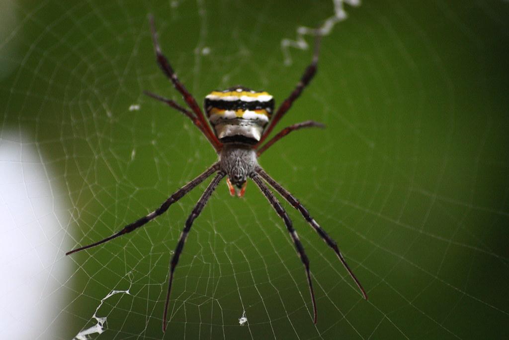 Signature Spider(Agniope anasuja)