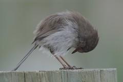 Superb Fairy - wren ( hello legs )
