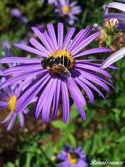Aster & Bee