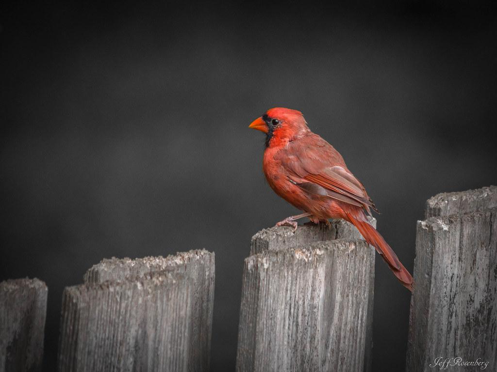 Cardinal - HFF:)
