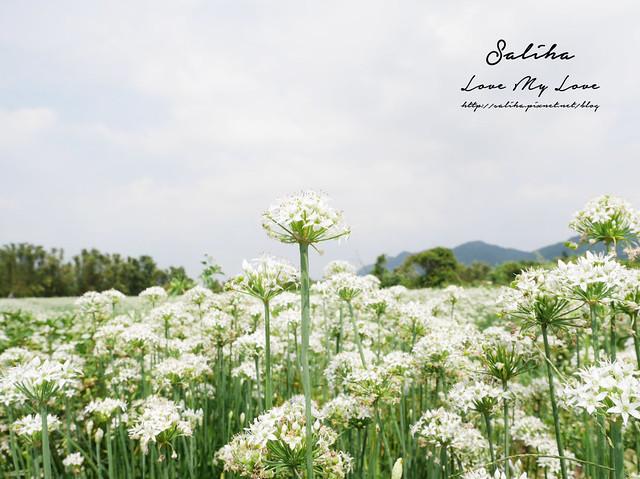 桃園一日遊旅遊景點中新里韭菜花 (6)