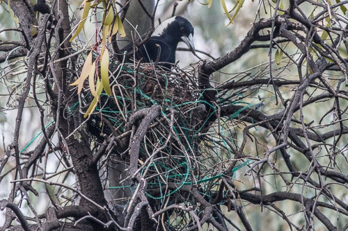 Australian Magpie in nest