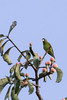 Golden-winged Parakeet (Brotogeris chrysoptera)