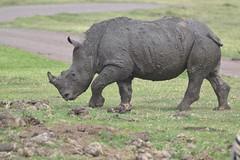 Baby Rhinoeros