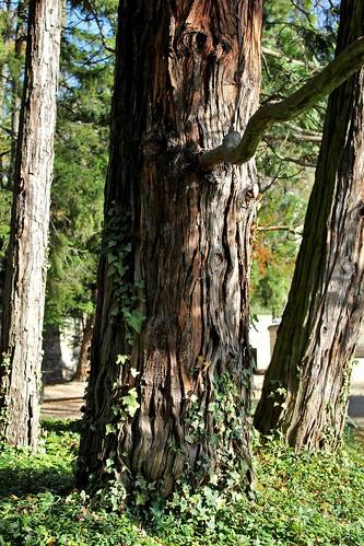 Thuya géant de Californie (5)