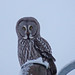 Great grey owl (Strix nebulosa lapponica ) Lappuggla