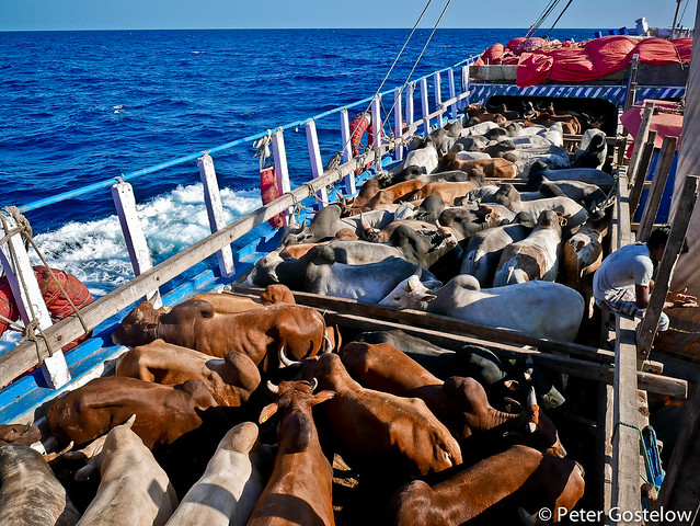 Cows on the sea
