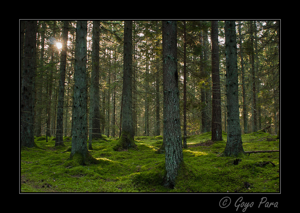 Bosque de coniferas