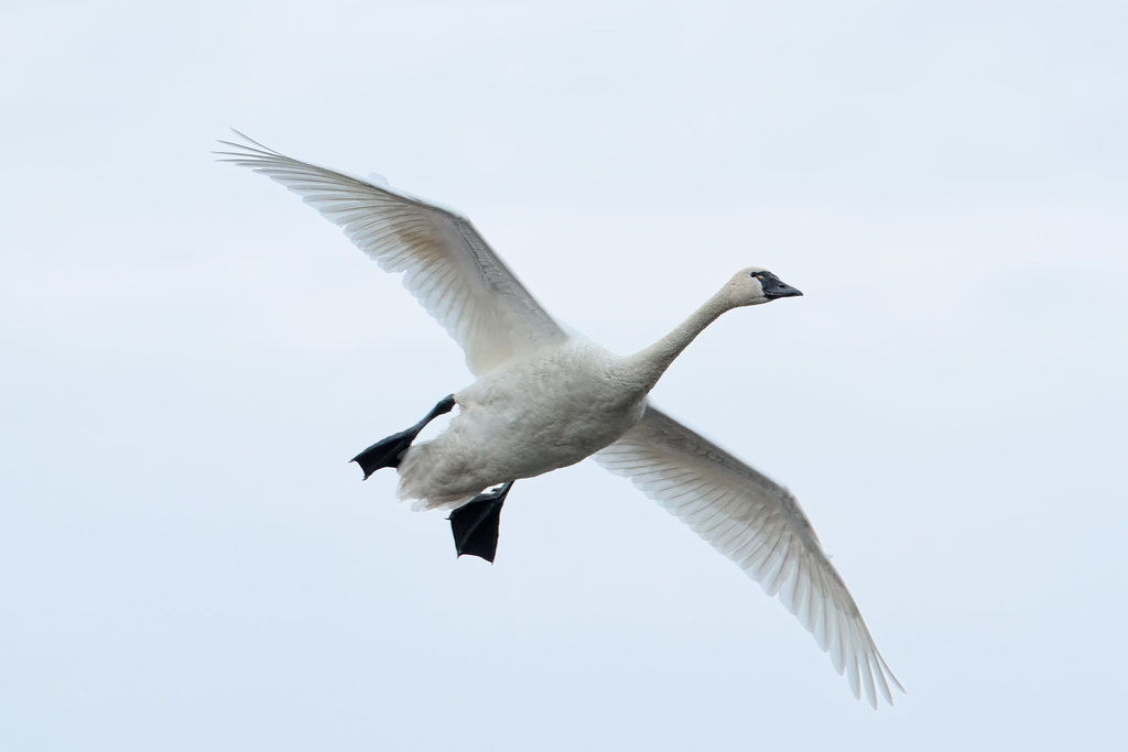 A tundra swan lowers its large webbed feet as it slows down in preparation for landing in Rest Lake