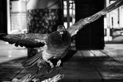 #DailyPigeon 113016 1/1250 f4.5 160 #pigeon #pigeons #CityBird #UrbanWildlife #InstaDFW #Dallas #bnw #bw #bnw_society #bnw_captures #blackandwhite #bnw_just #monochrome #bnwphotography #bnwphotography #iLikeBirds #birds #pigeonsofinstagram #pigeonstagram