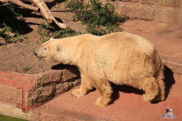 Eisbär Fiete im Zoo Rostock 06.09.2015  0229