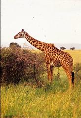 Giraffa camelopardalis tippelskirchi DT [TZ Serengeti NP] 0202 (1)