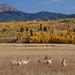 Antelope in Grand Teton National Park by Jeffrey Sullivan