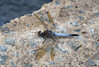 Blue Skimmer dragonfly by Jenny Thynne