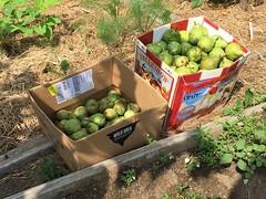 2015-08-25 pears IMG_2810