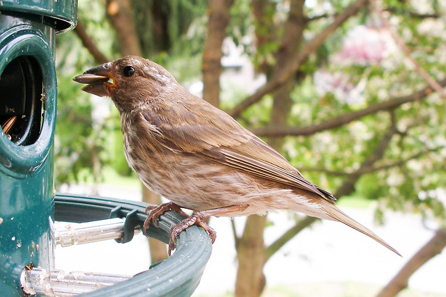 Young female House Finch