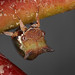 Small photo of Acacia Horned Treehopper