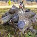 Lumberdog by Bill Adams