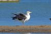 Yellow-footed Gull, La Paz, , Baja California Sur, Mexico