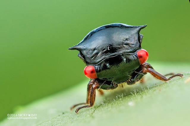 Treehopper (Tricentrus fulgidus) - DSC_4164c